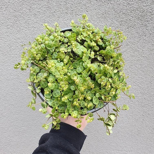 String of Turtles/Peperomia prostrata in 16cm hanging pot