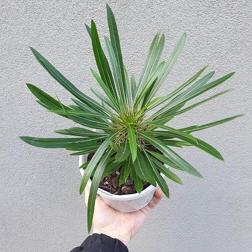 Madagascar Palm/Pachypodium lamerei in 13cm pot