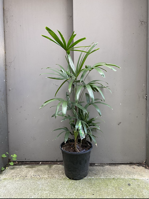 Rhapis Palm/Rhapis excelsa in 25cm pot