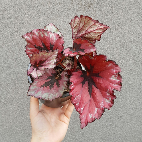 Begonia Rex in 13cm pot