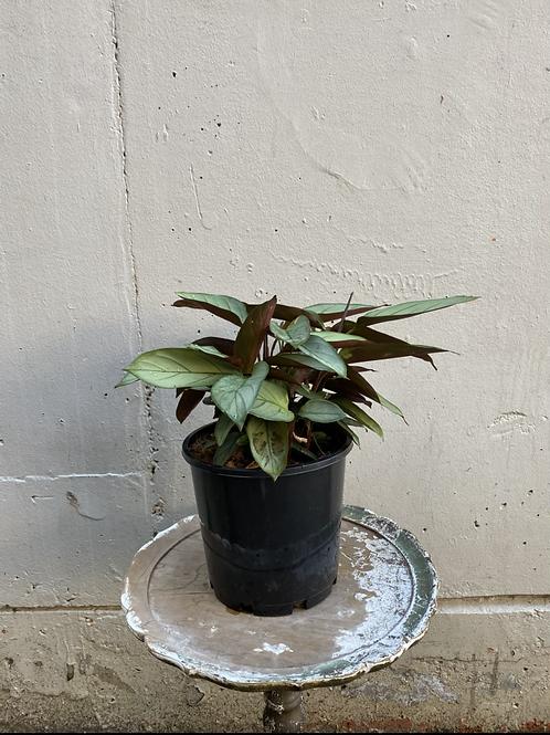 Prayer Plant/Ctenanthe setosa 'Grey Star' in 20cm pot