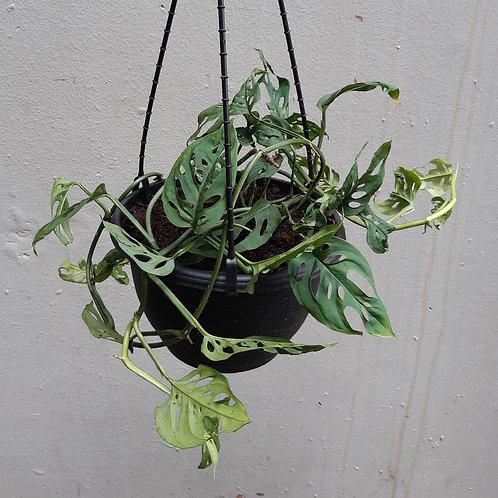 Monstera adansonii in 20cm hanging pot