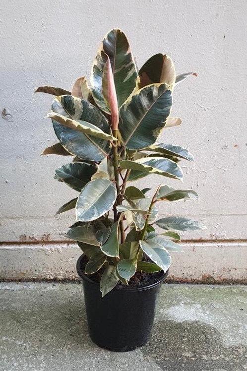 Tineke Rubber Tree/Ficus elastica in 25cm pot