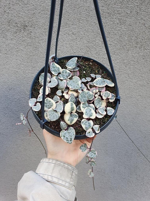 Variegated Chain of Hearts/Ceropegia woodii in 16cm hanging pot
