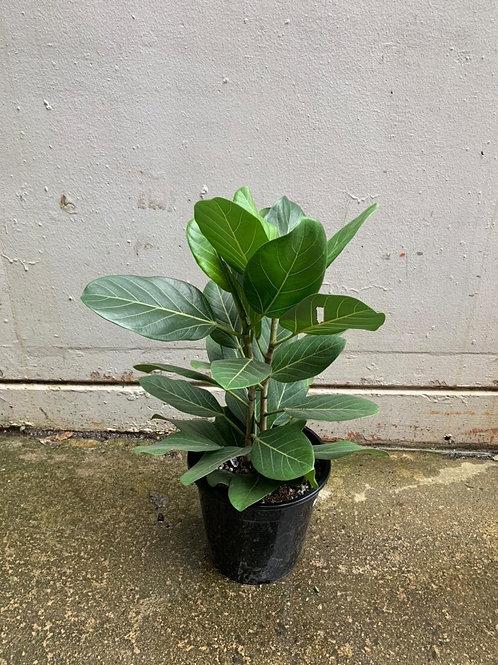 Banyan Fig/Ficus benghalensis 'Audrey' in 25cm pot