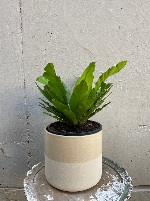 Australian Bird's Nest Fern in 22cm Ceramic White pot