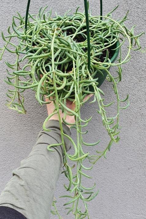 String of Beans/Senecio radicans in 20cm hanging pot