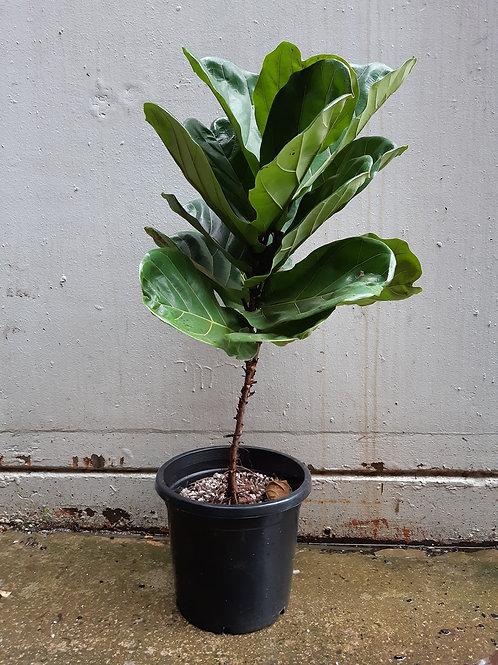 Fiddle Leaf Fig/Ficus lyrata in 30cm pot