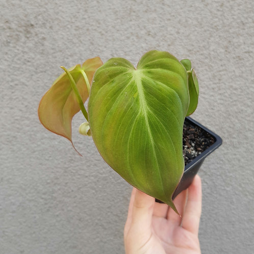 Philodendron micans in 7cm pot