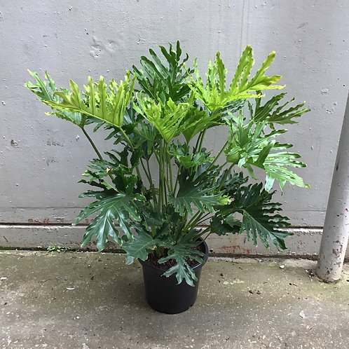 Philodendron 'Hope' in 30cm pot
