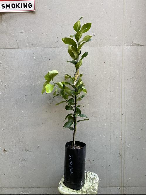 'Eureka' Lemon Tree/Citrus limon in 15cm square pot