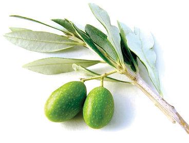 Olive branch2.jpg