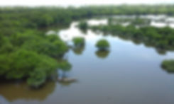 Freshwater_swamp_forest_in_Gowainghat_Sy
