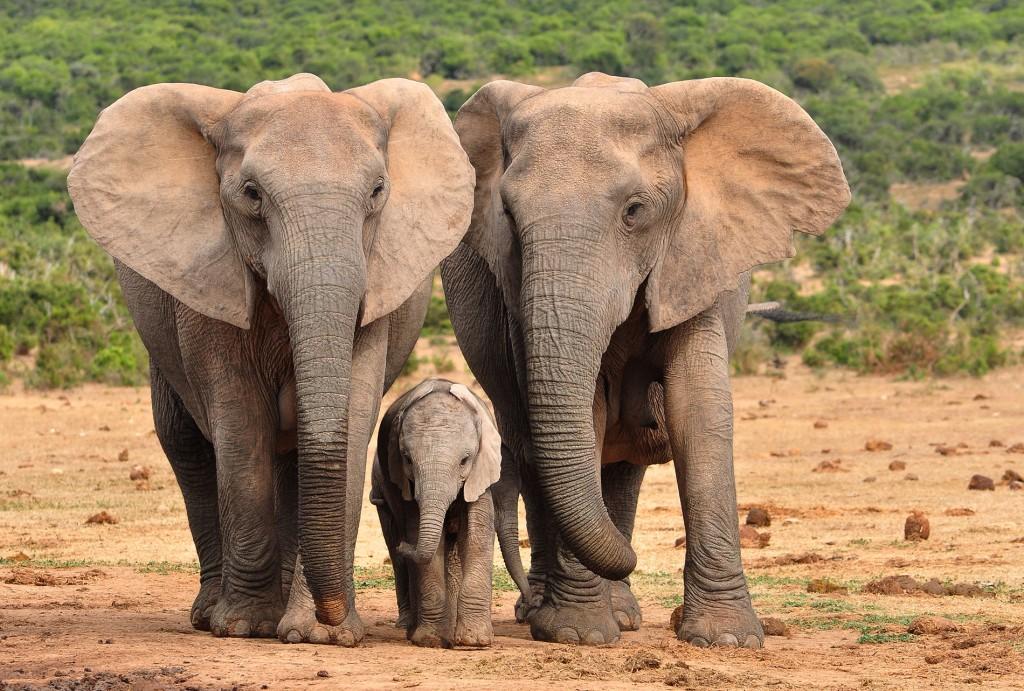 elephants-1024x691.jpg
