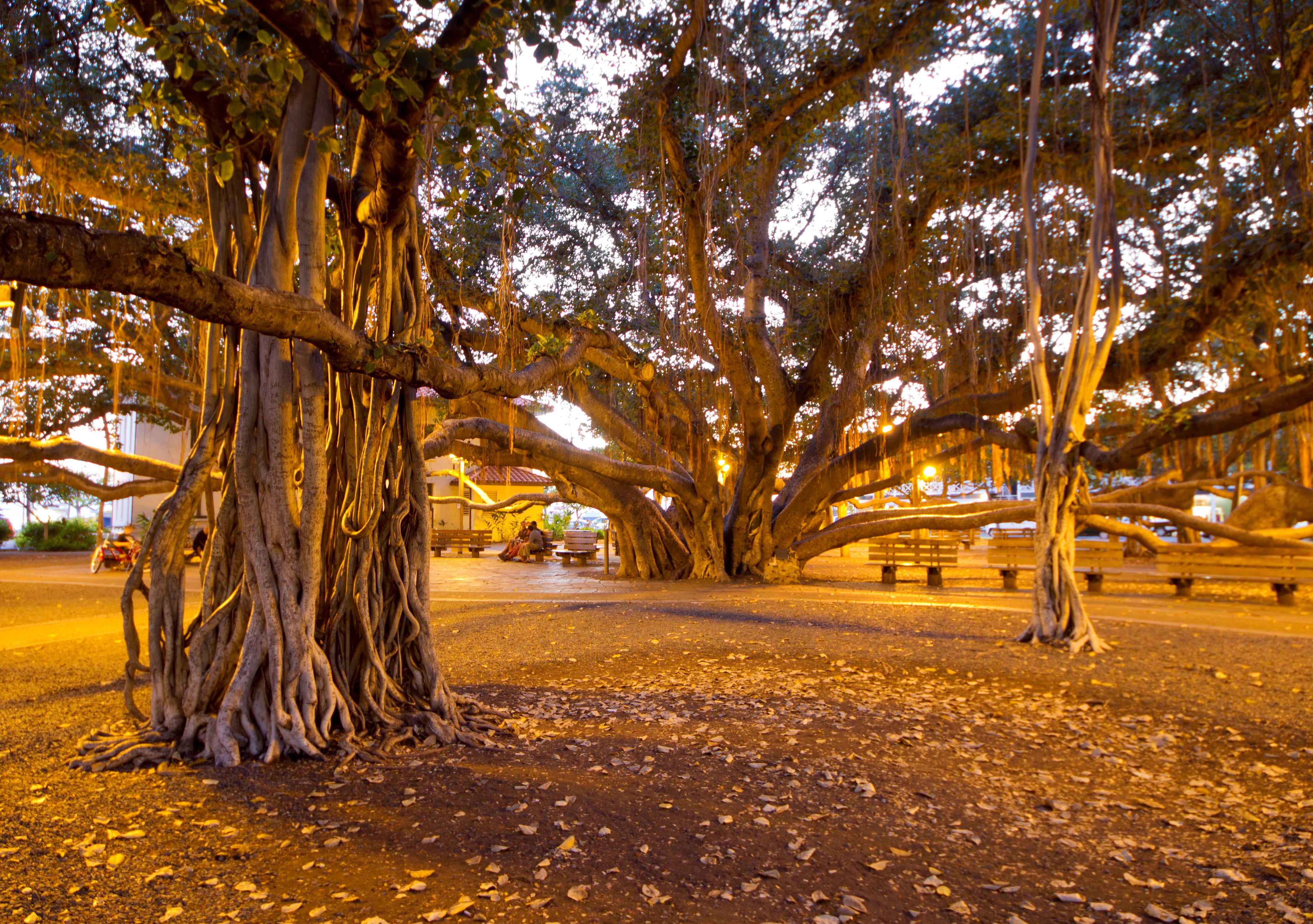 Banyan Tree Lahaina
