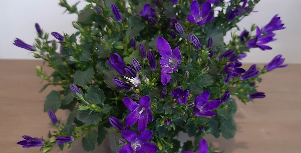 Campanula violett