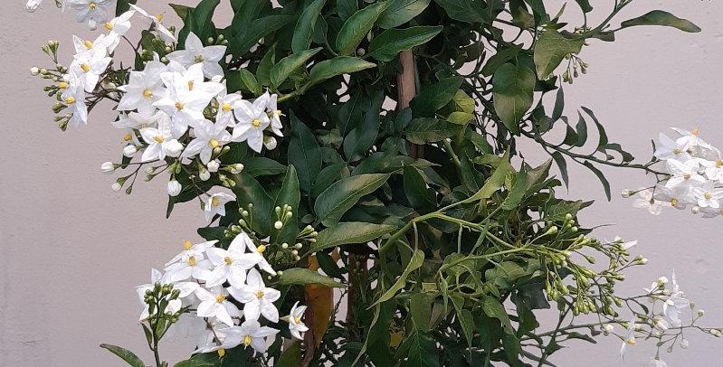 Solanum Pyramide