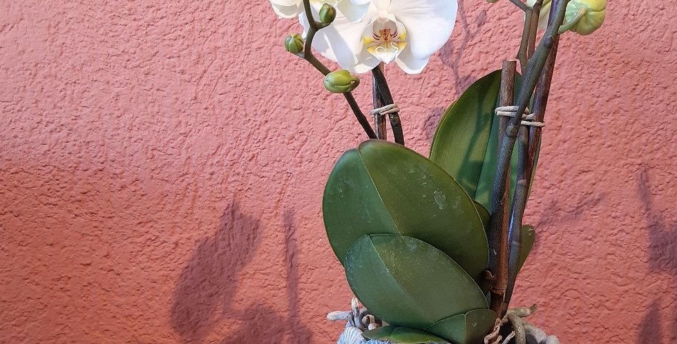 Weisse Orchidee mit passendem Topf