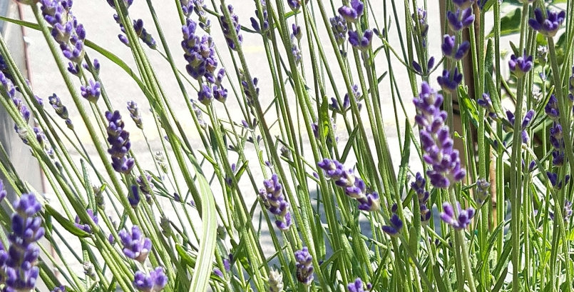 Lavendel 13cm