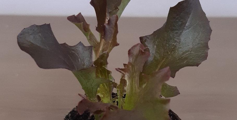 Salanova rot crispy
