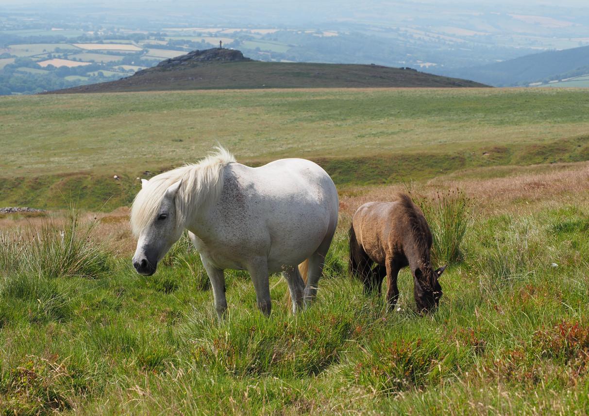 Ponies on Dartmoor, Devon