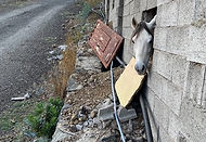حصان شعبي شيخ للبيع