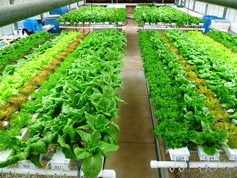 Growing high-value lettuce with 85 to 90