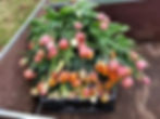 tulipes vermont cart 2019.jpg