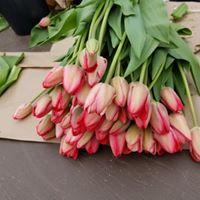 tulipes van eijk 2019.jpg