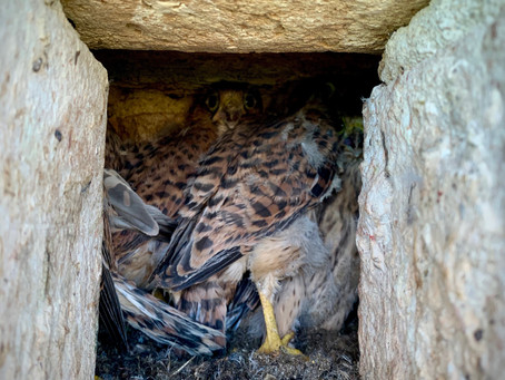 Tombé du nid - Fallen out of the nest - Uit het nest gevallen