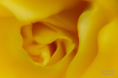 Yellow rose close up