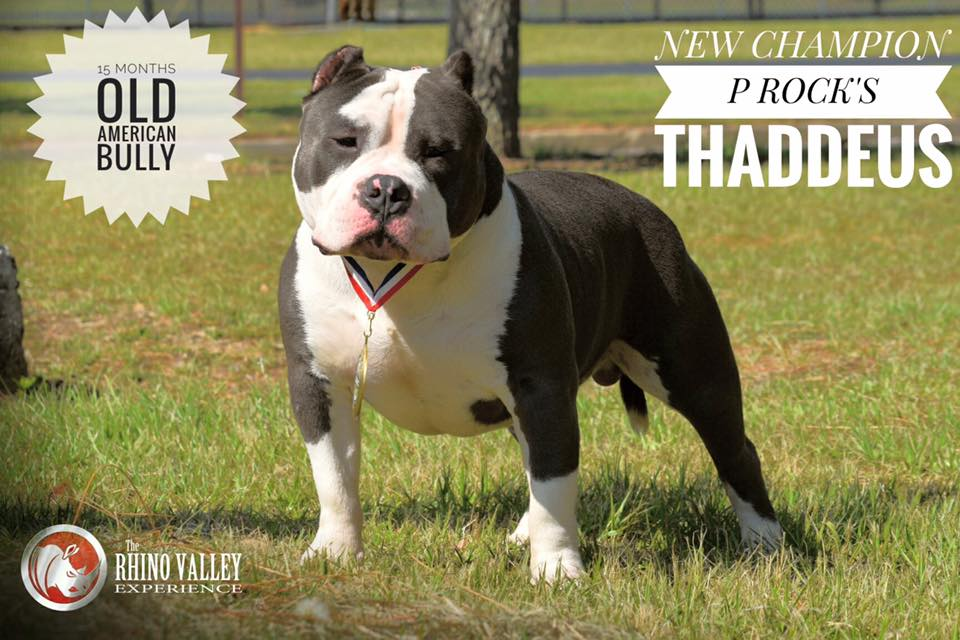 P- Rock Kennels in Georgia /American Bully And French Bulldog kennel
