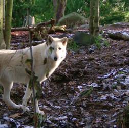 Trailer Moonlight Wolves