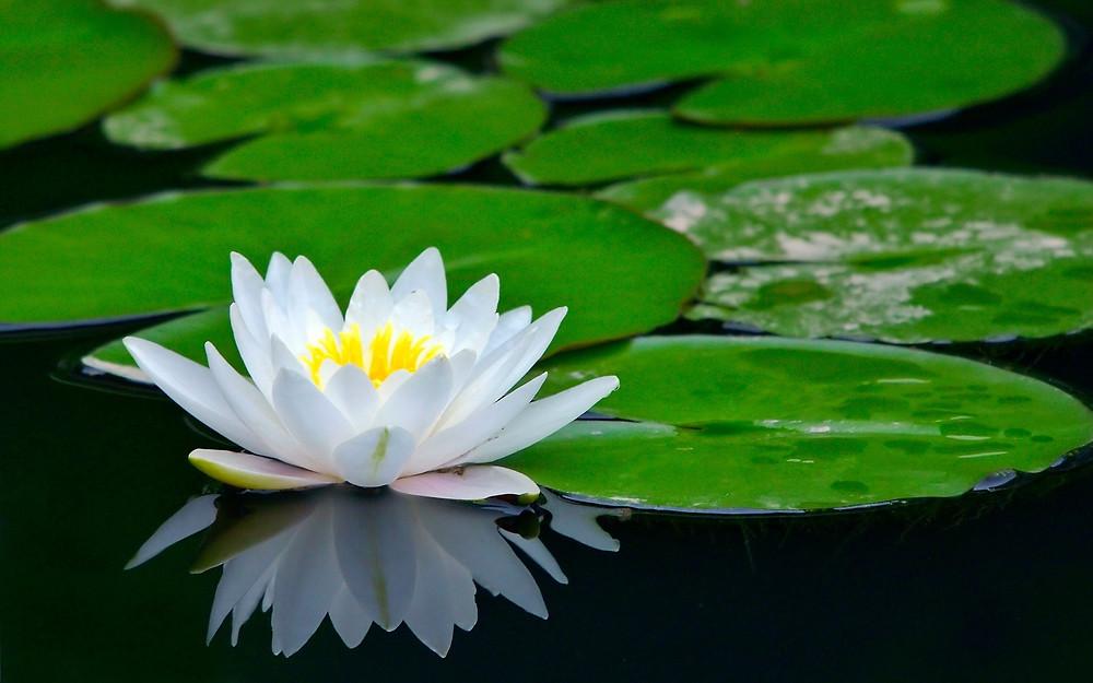De Lotus die lijkt op de muurfoto in het ziekenhuis