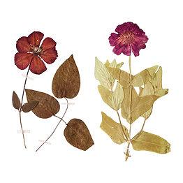 Set of herbarium wild dry pressed flower