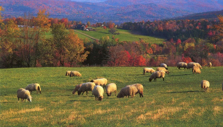 usa-vermont-sheep-in-pasture_edited.jpg