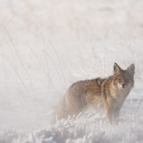 Coyote in the Mist