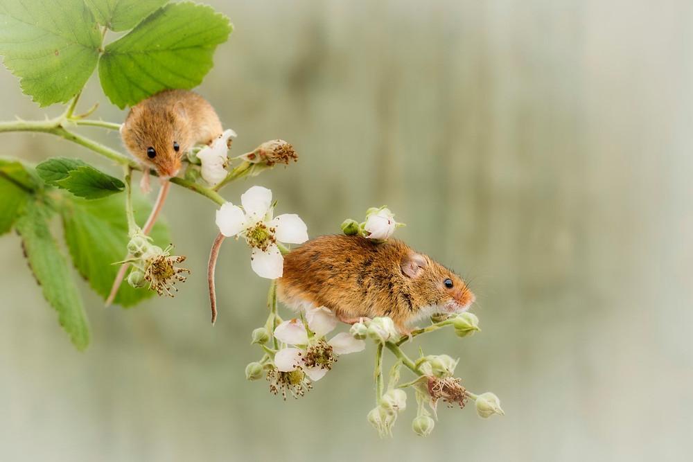 Cute Harvest Mice