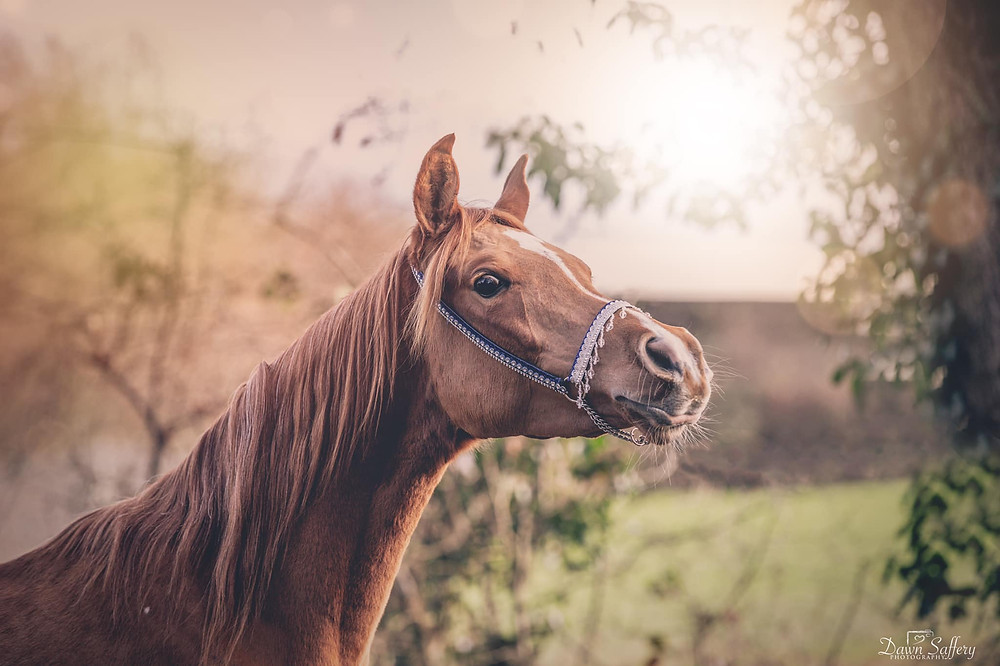 Inquisitive young arab horse
