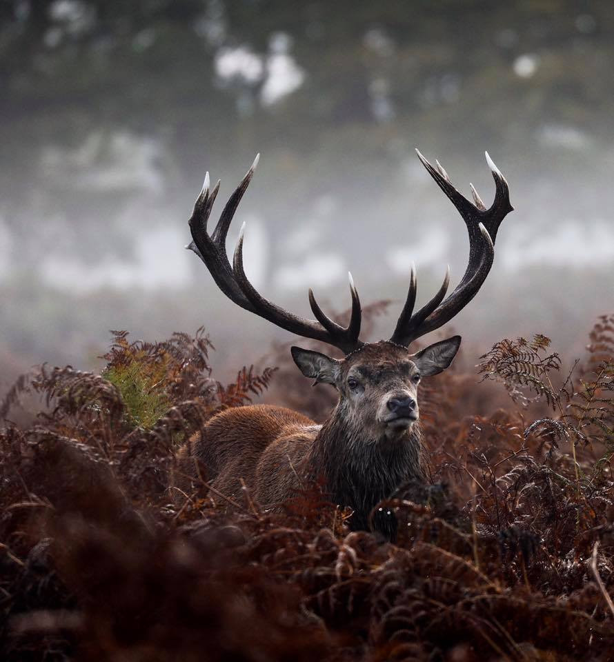 Stag in Bushy Park in the early morning