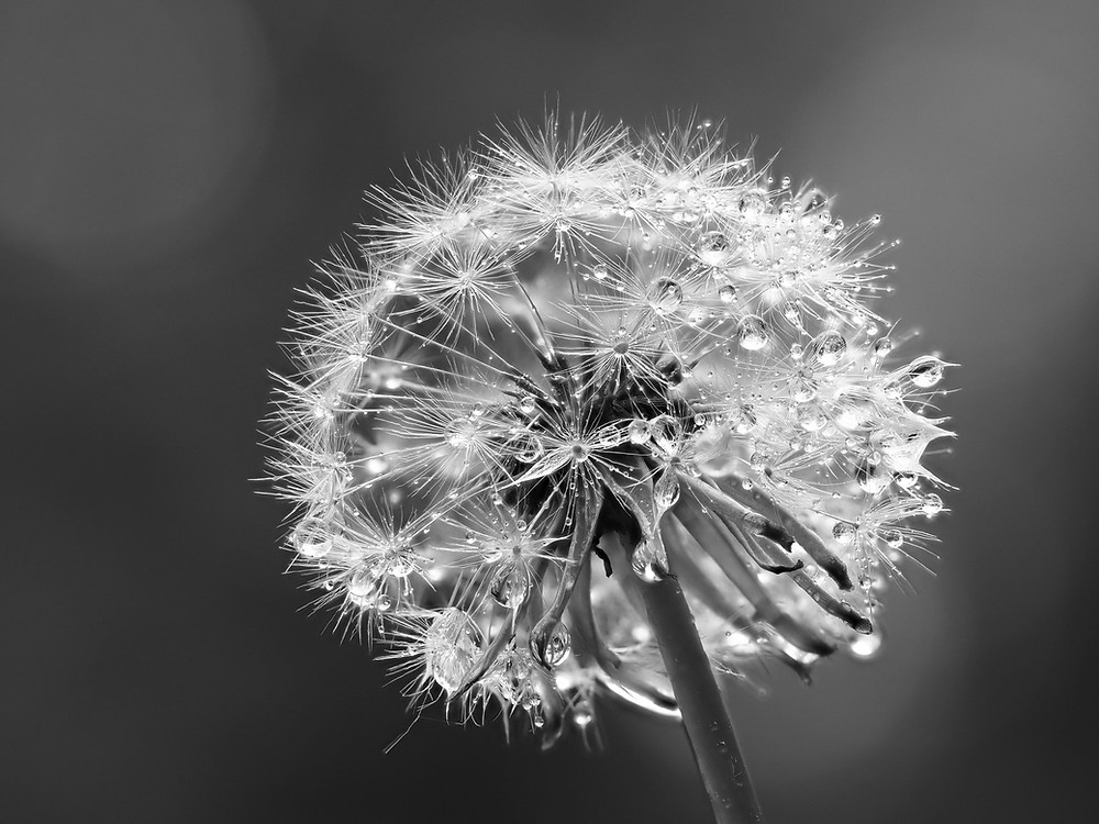 Dandelion head covered in dew