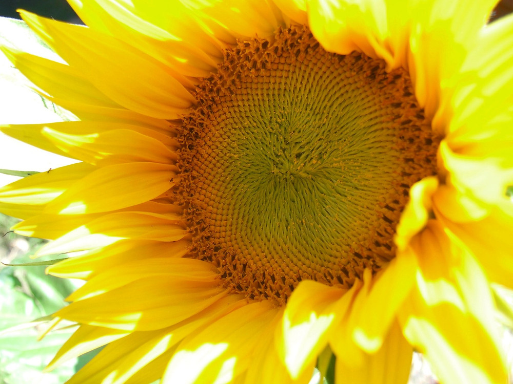 Our 1st Sunflower.jpg