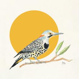Yellow Hammer Hummingbird