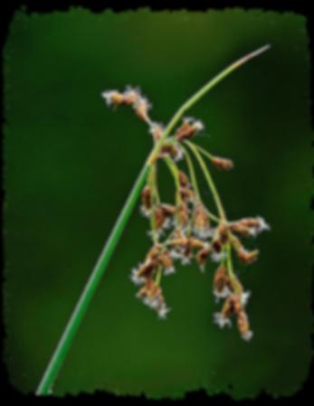soft-stemmed bulrush.png