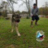 11 month old Armenian GAMPR dog Bash. Lo