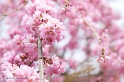 001-sakura