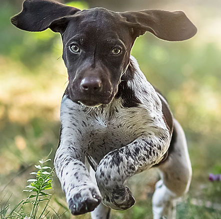 A dog who loves running free will love gentle remote collar dog training