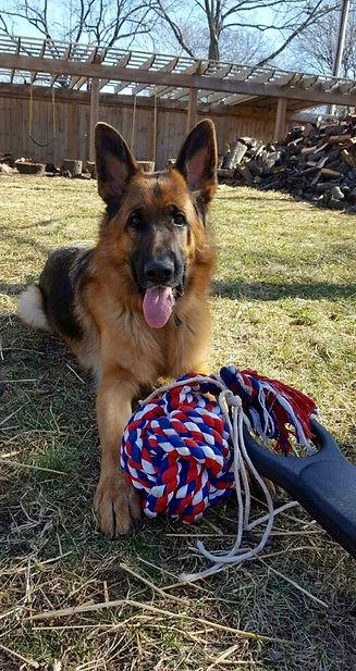 German Shepherd Hammy calmly awaiting play time after dog training