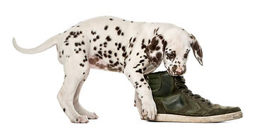 Naughty puppies need early dog training - your shoes will thank you!