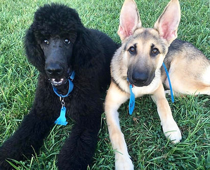 """After dog training: Ash and Nimbus have learned the """"Down"""" command"""